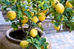 citroni veselībai