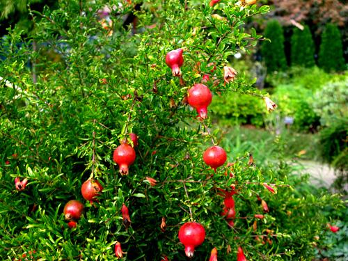 granataboli-veselibai