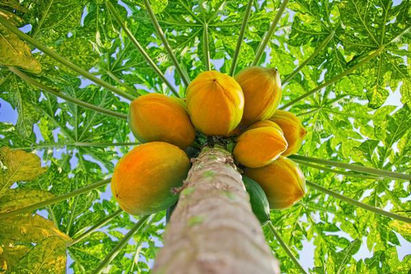 papaija-veselibai