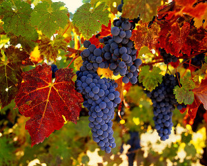vīnogas veselībai